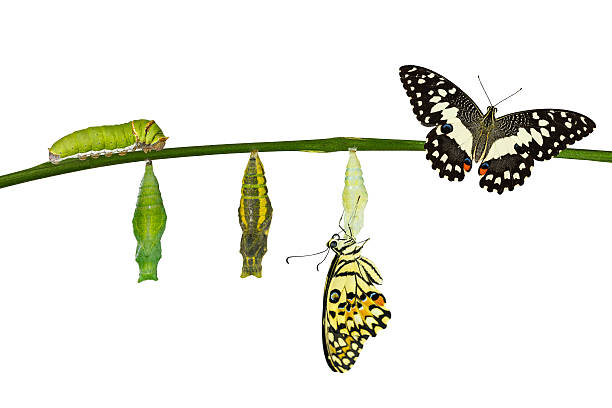 Isolated transformation of lime butterfly on white picture id545645318?b=1&k=6&m=545645318&s=612x612&w=0&h=sy9rhswgp2u3ndxxx8rrousddkb doxdv igtn1z3ia=
