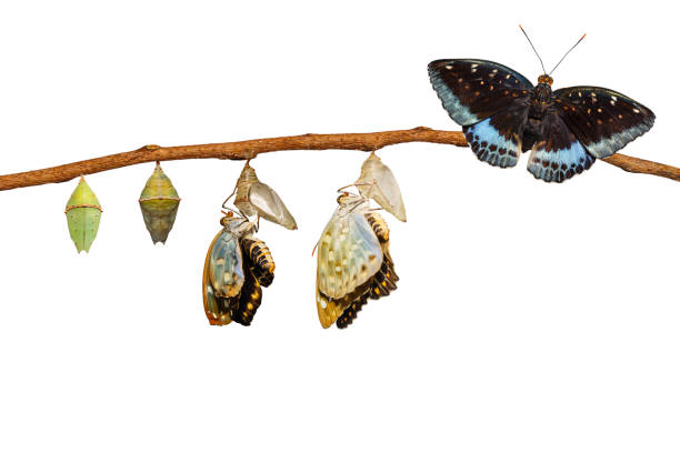 Isolated transformation of Male Common Archduke butterfly emerging from chrysalis Isolated transformation of Male Common Archduke butterfly emerging from chrysalis ( Lexias pardalis jadeitina ) hanging on twig with clipping path dorsal surface stock pictures, royalty-free photos & images