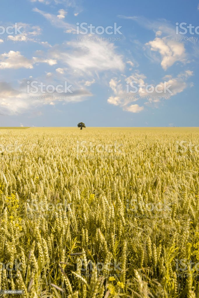 isolated tree in a Wheat field stock photo