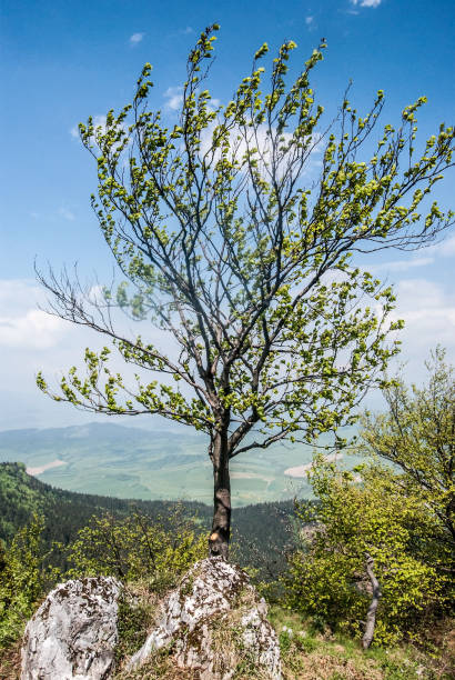 바위와 푸른 하늘 언덕 정상에 고립 된 나무 - 벨리카 파트라 뉴스 사진 이미지