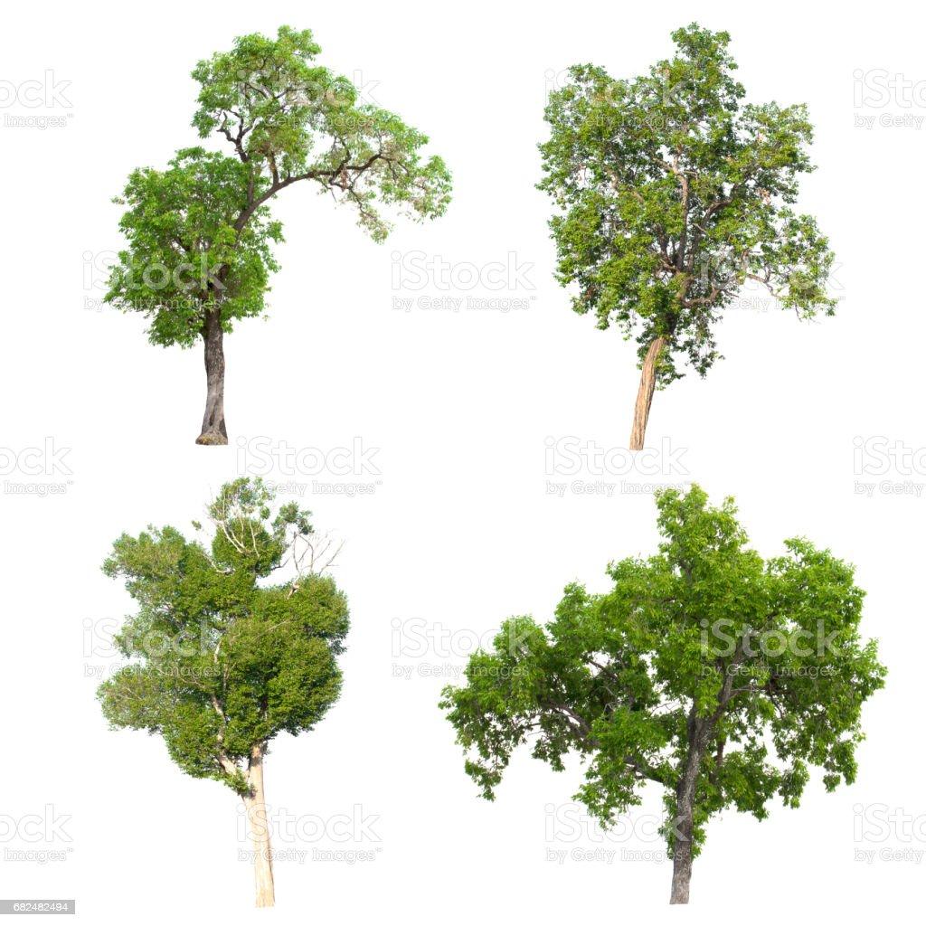 İzole ağaç beyaz arka plan üzerinde. royalty-free stock photo
