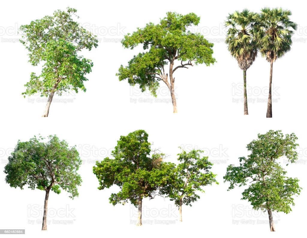 Isolated tree on white background. royalty-free stock photo