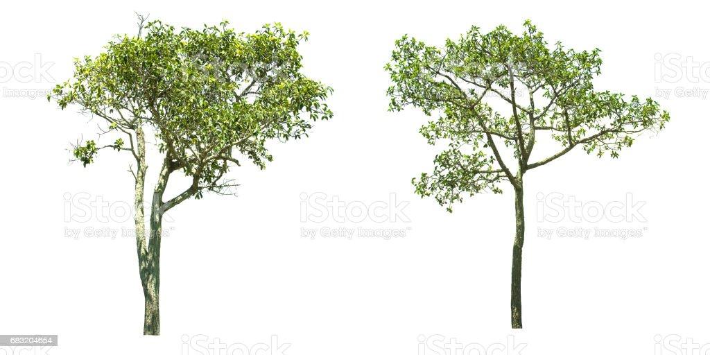 흰색 배경에 고립 된 나무입니다. royalty-free 스톡 사진