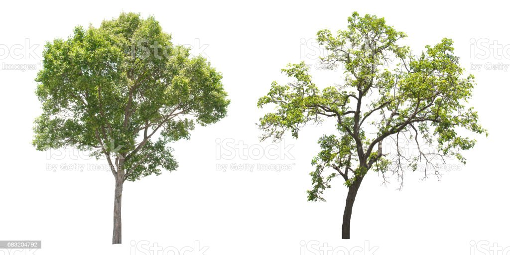 Isolated tree on white background. foto de stock royalty-free
