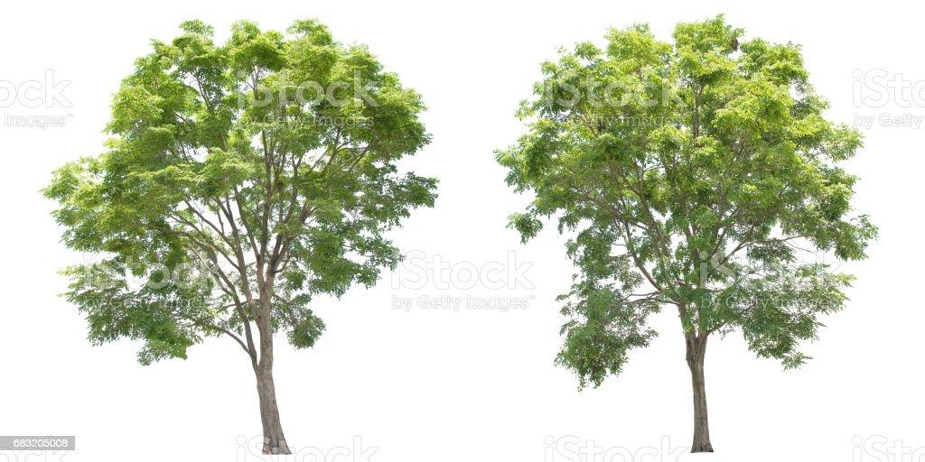 白色背景上的孤立的大樹。 免版稅 stock photo