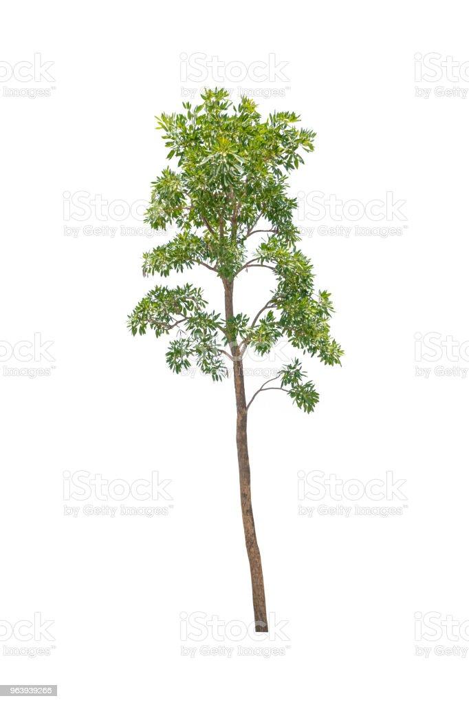Isolated tree on white background - Royalty-free Beauty Stock Photo