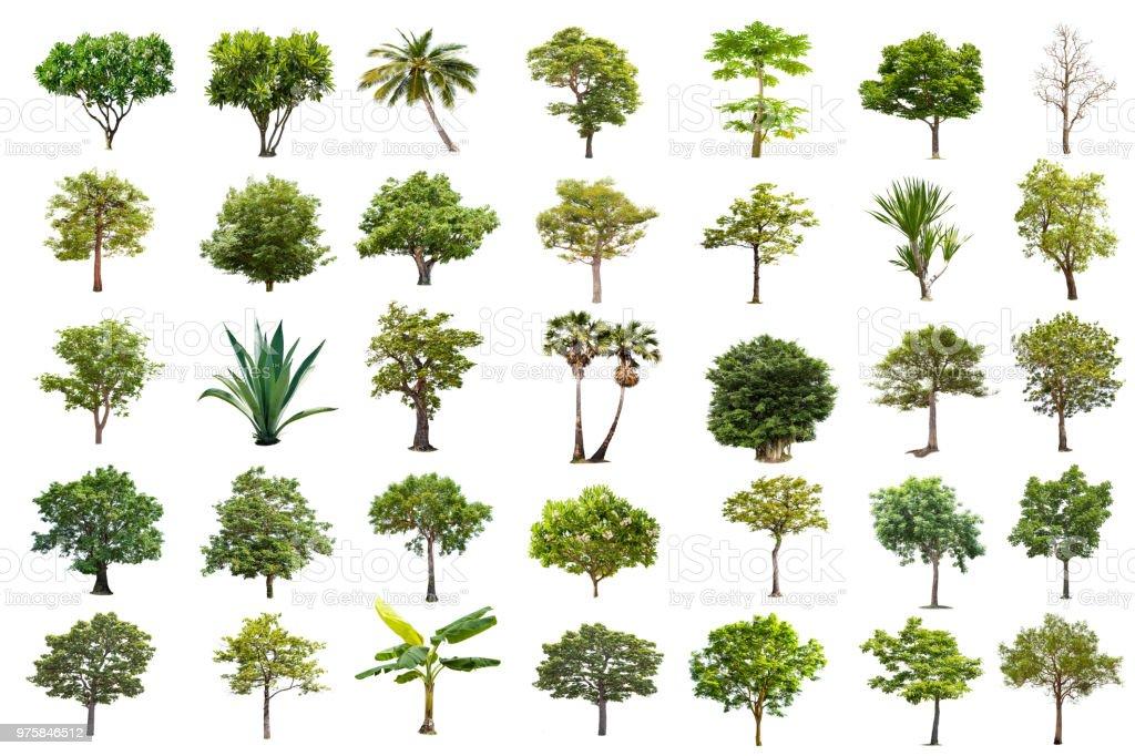Isolierte Baum auf weißem Hintergrund, die Sammlung von Bäumen. Große Bäume Datenbank Botanischer Garten Organisation Elemente der asiatischen Natur in Thailand, tropische Bäume isoliert verwendet für Design, - Lizenzfrei Ahorn Stock-Foto