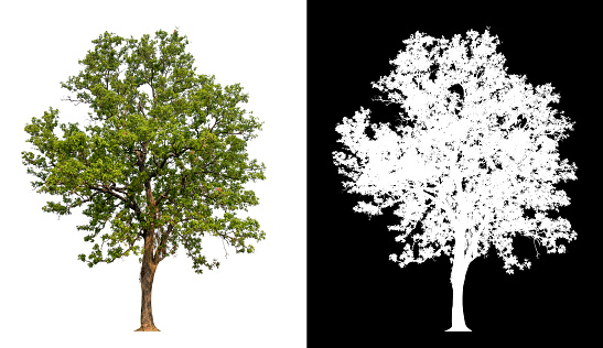 isolated tree on white background with clipping path and alpha channal