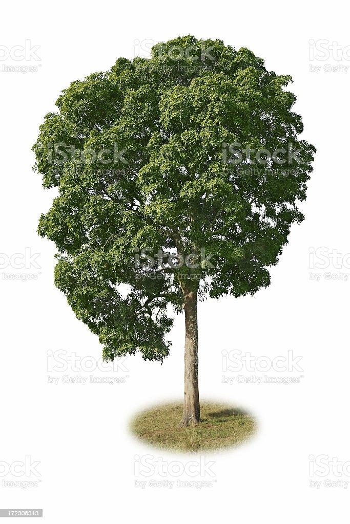 Isolated Tree royalty-free stock photo