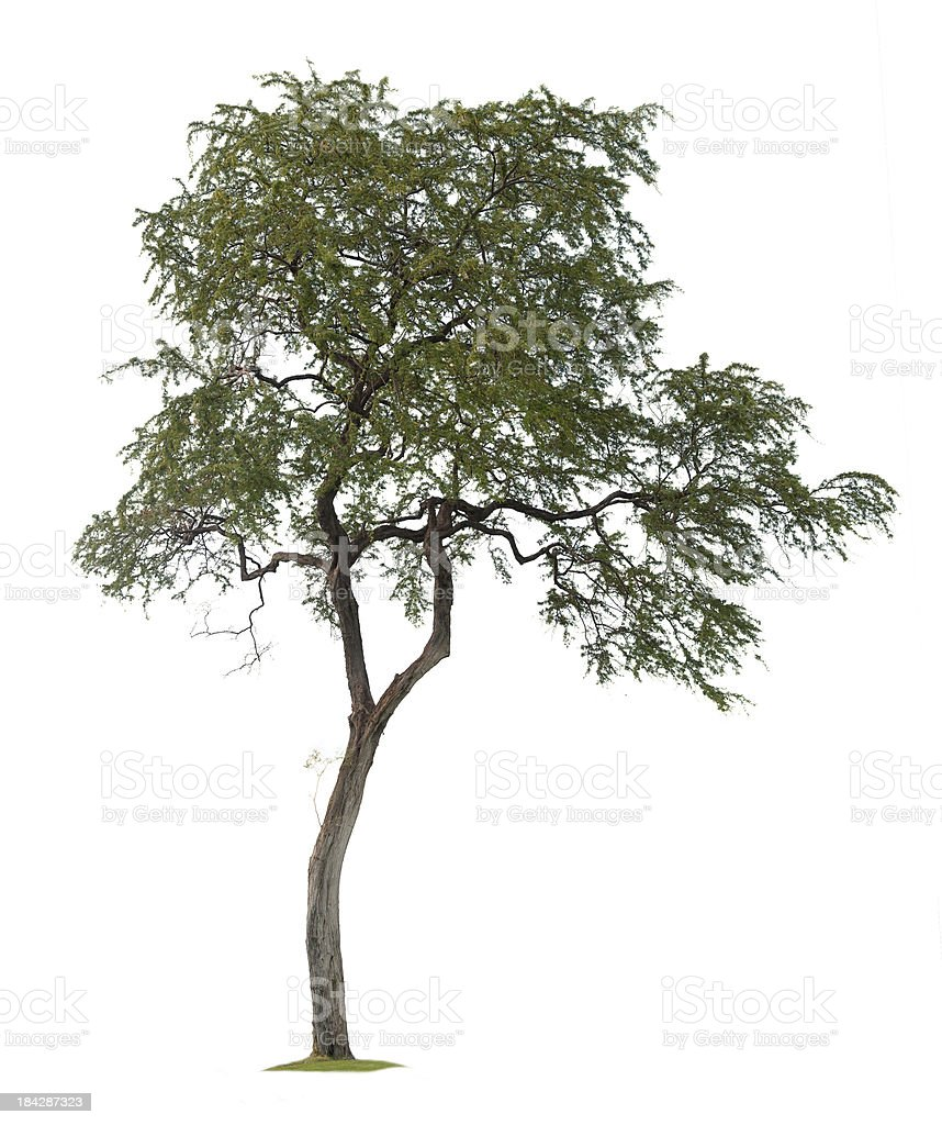Isolated Tree royalty-free stock photo