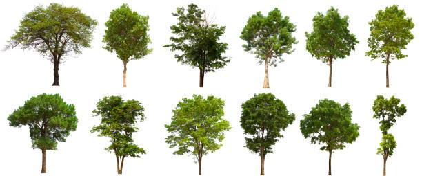 conjunto de árboles aislados se encuentra sobre un fondo blanco. colección de árbol aislado sobre fondo blanco - árbol fotografías e imágenes de stock