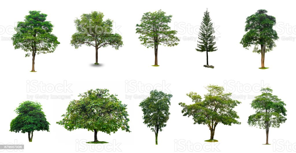 Isolated  trees on white background Collection of Isolated Trees on white background Suitable for use in architectural design , Decoration work stock photo