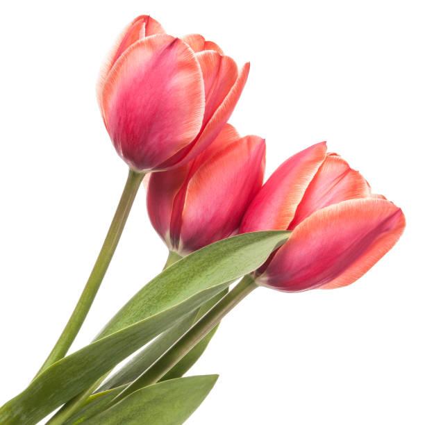 beyaz bir arka plan üzerinde izole lale çiçek - i̇stanbul stok fotoğraflar ve resimler