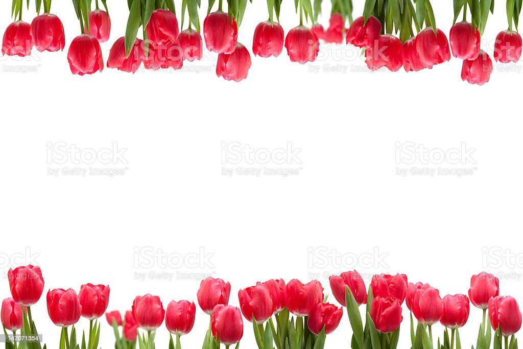 Isolated Tulip Frame royalty-free stock photo