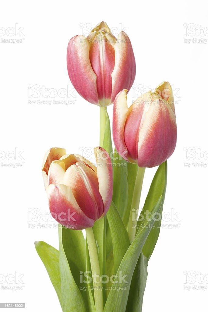 Isolated Tulips royalty-free stock photo