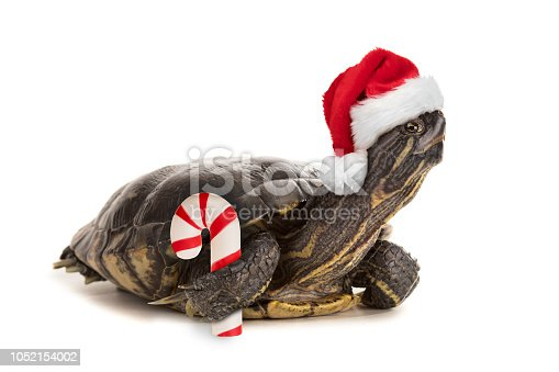 An isolated image of a red eared slider turtle wearing a Santa hat an holding a candy cane.