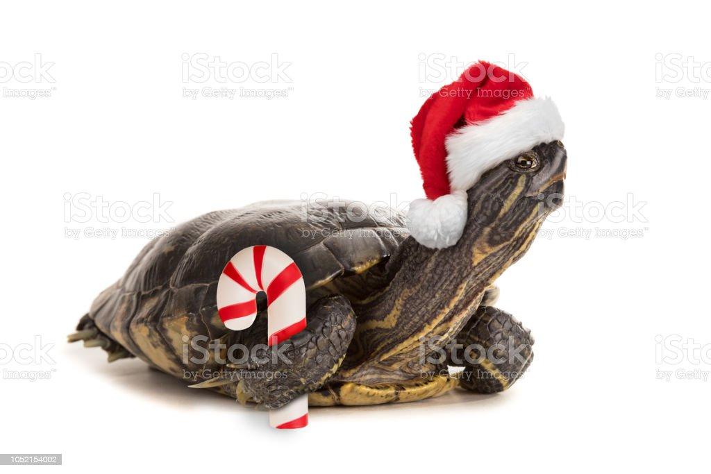Isolierte Schildkröte gekleidet zu Weihnachten – Foto