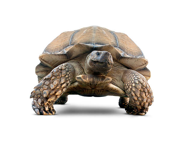Isolated Turtle stock photo