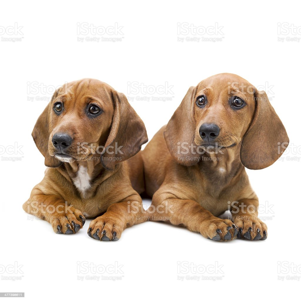 Isolated Two Dachshund Puppies Sitting Stock Photo - Download Image