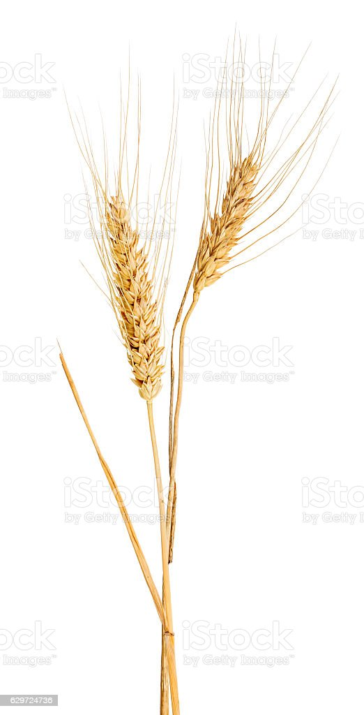 isolated two ears of gold wheat with awns stock photo