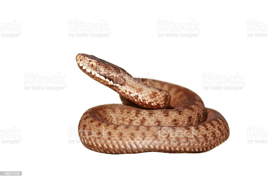 isolated venomous snake full length stock photo