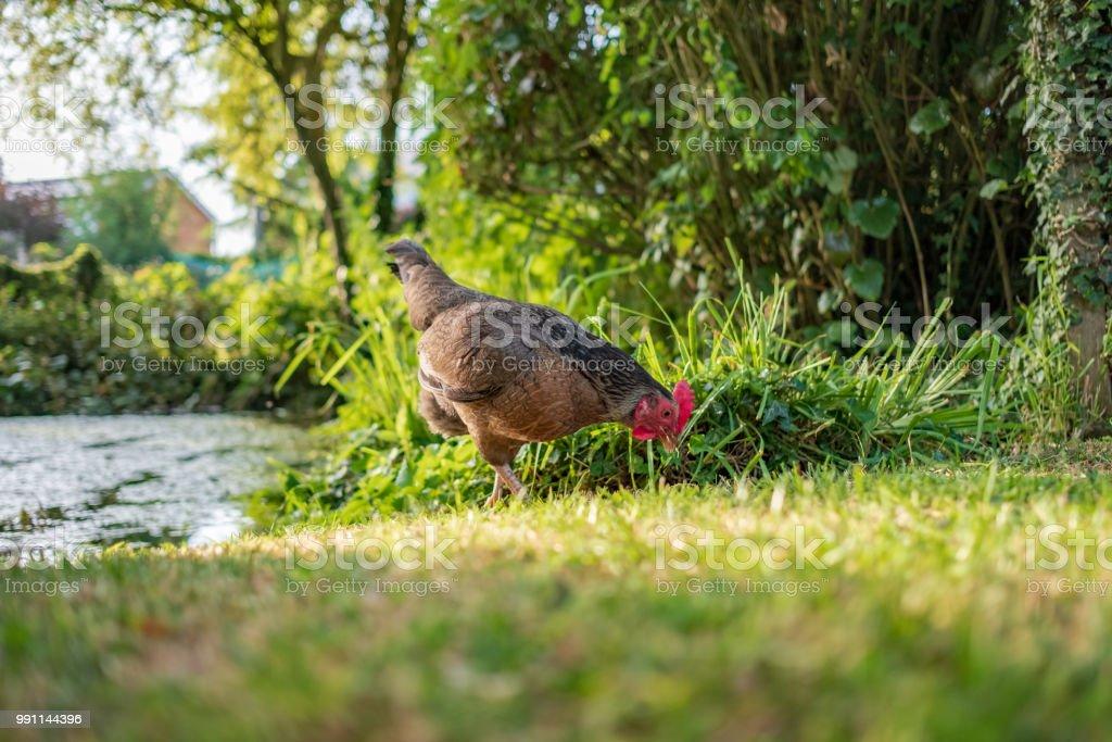 Vista aislada de una gallina gallo adulto vista buscando comida en la orilla de un estanque grande, privado en verano. - foto de stock