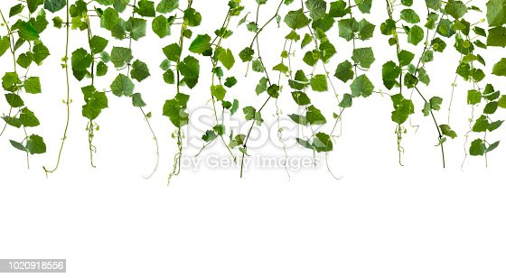 Row of vine leaves overlapping each other that create a natural frame with a slight shadow added. Composed of a multitude of leaves and properly isolated on a pure white background, this can be used as a separate design element.
