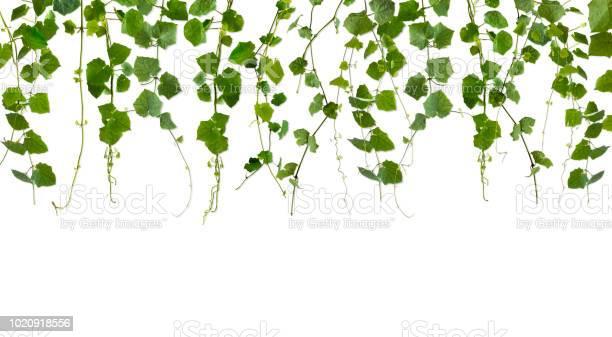 Isolated vine leaf frame with copy space on white background picture id1020918556?b=1&k=6&m=1020918556&s=612x612&h=rkqsmzf65oeg4fptrwveqt7ukj z9prxu4eqdbmr0ou=