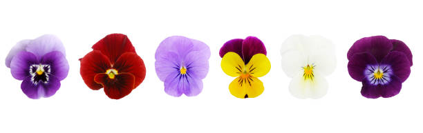 Isolated Viola/Pansies (XL)  pansy stock pictures, royalty-free photos & images