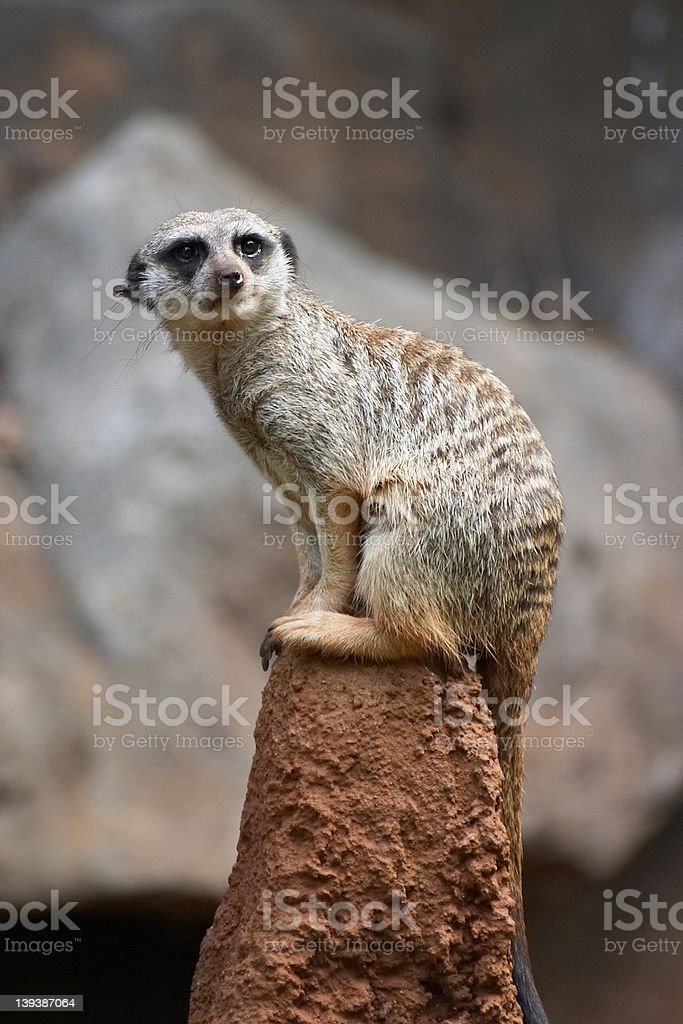 isolated weasel/meerkat on a rock royalty-free stock photo