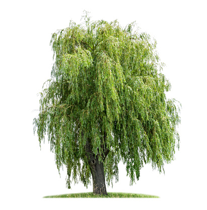Weeping willow branches shining in the sun.[/url]