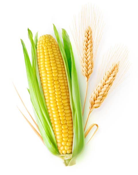 Isolated wheat and corn stock photo