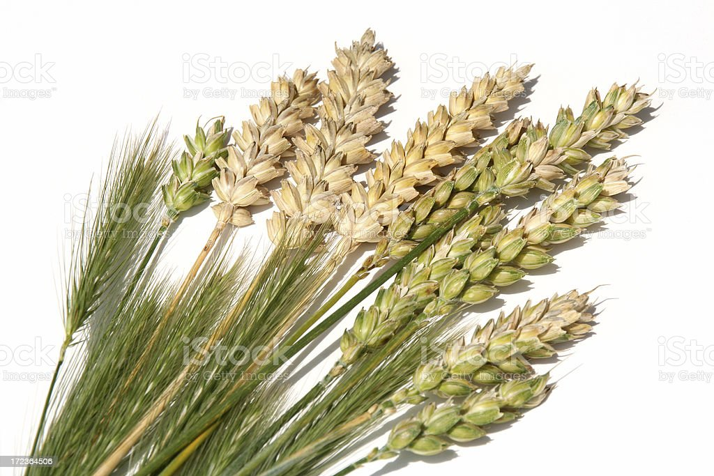 Isolated wheat collection # 1 royalty-free stock photo