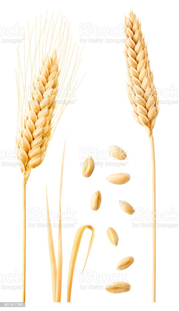Isolated wheat collection stock photo