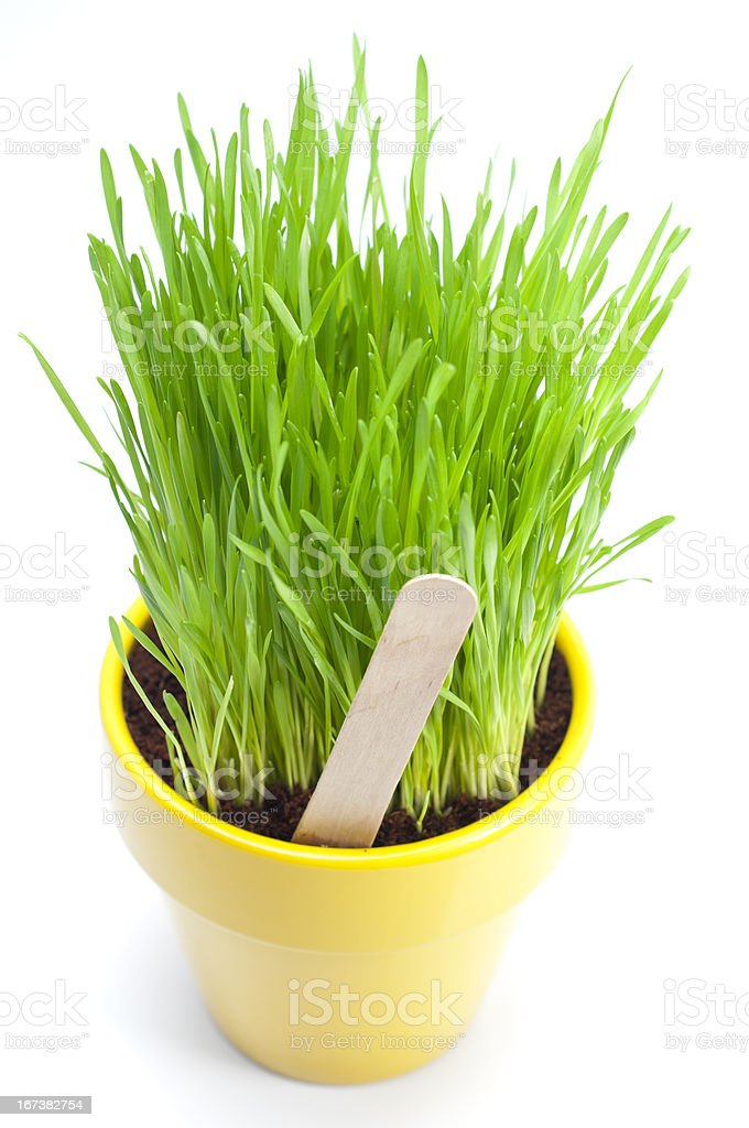 Isolated Wheat Grass royalty-free stock photo