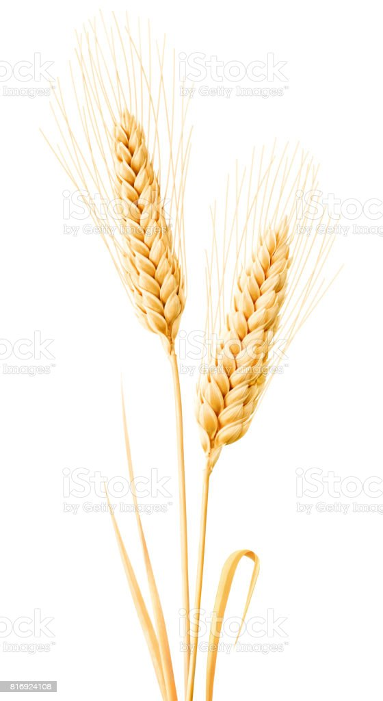 Isolated wheat with leaves stock photo