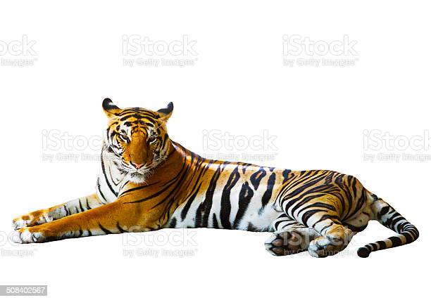 Isolated white background of indochinese tiger face lying with relax picture id508402567?b=1&k=6&m=508402567&s=612x612&h=rtdfeyha6 a2sw7ffossoerq oxq7zcdjxh0g776vf0=