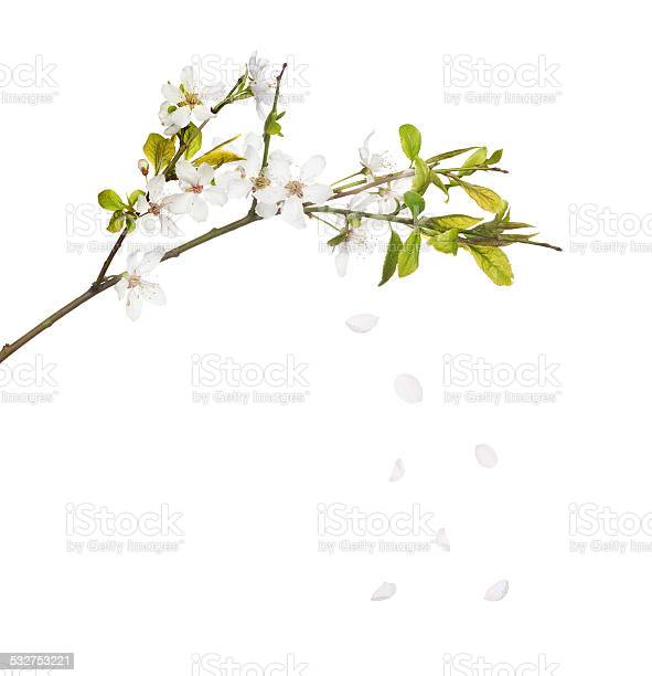 Isolated white blooming branch with falling petals picture id532753221?b=1&k=6&m=532753221&s=612x612&h=l5hfvw5ckdygti2llfcwz2md1ozf0izsxrjovveiyko=