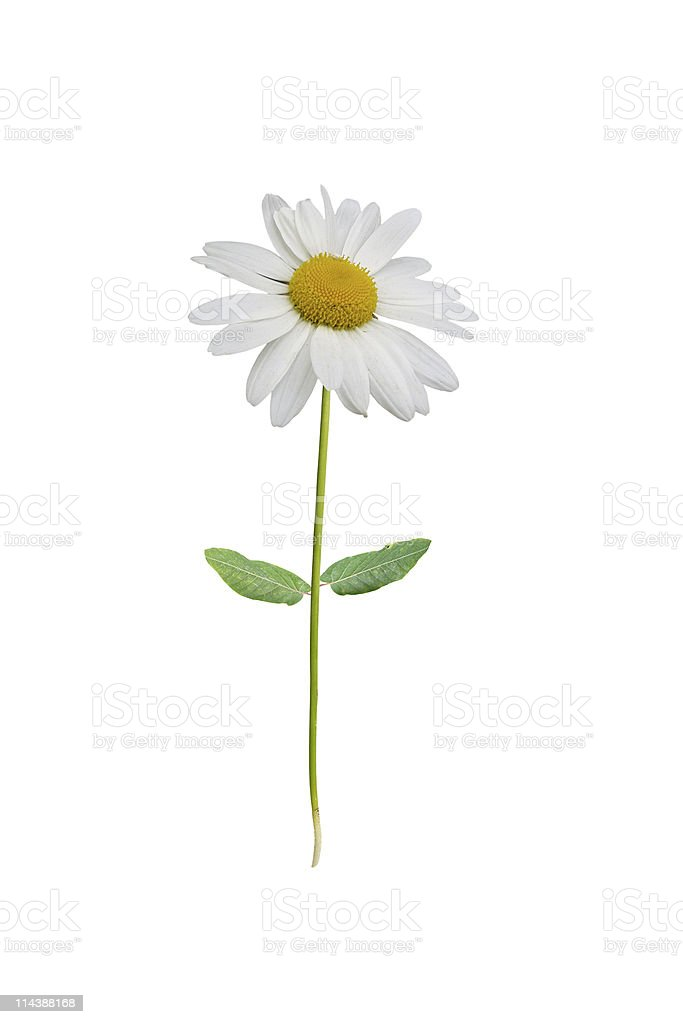 Isolated white daisy stock photo