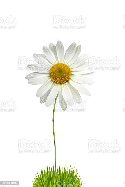 Isolated white daisy picture id92981557?b=1&k=6&m=92981557&s=612x612&h=oewopofqrhncoe6g 0lftdv8dgksm cbmn cu 3xbwa=
