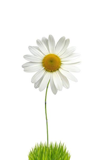 isolated white daisy - foderblad bildbanksfoton och bilder