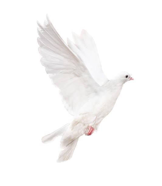 Isolated white dove picture id177362686?b=1&k=6&m=177362686&s=612x612&w=0&h=1avgyqhq2btb0wy qj9p4mdbnwwlgx6yorq9jcypgqk=