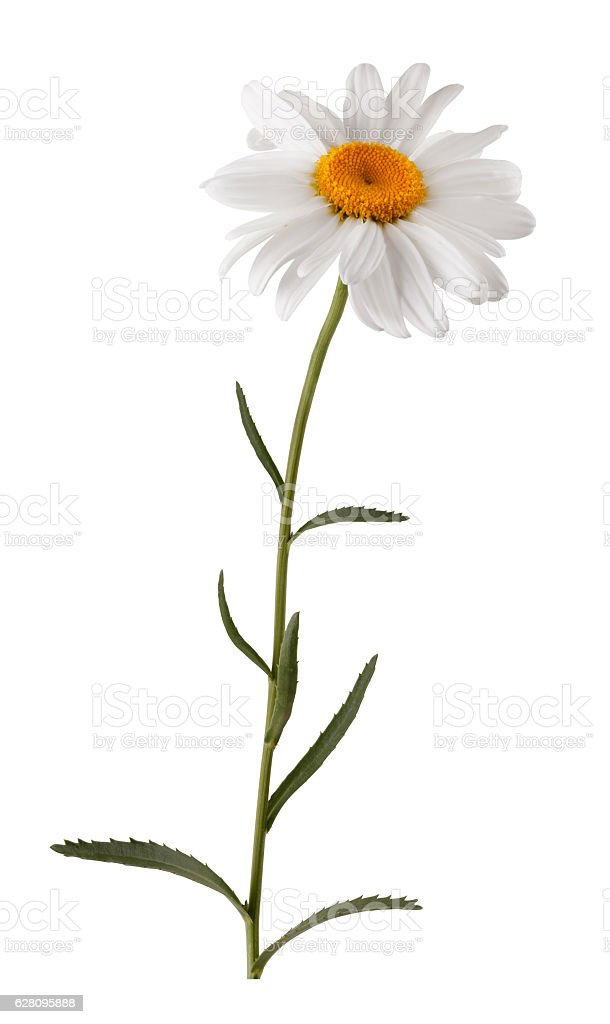 Isolated white flower with stem stock photo