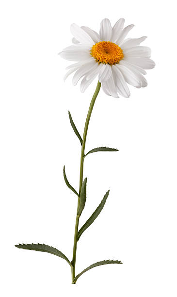 isolated white flower with stem - plant stem stock pictures, royalty-free photos & images