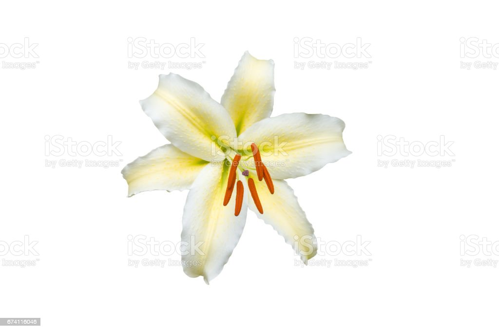 isolated white Lilly flower on white background 免版稅 stock photo