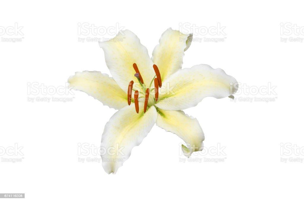 白色背景白色百合花 免版稅 stock photo