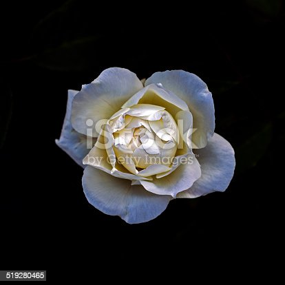 Close up view of a white rose.