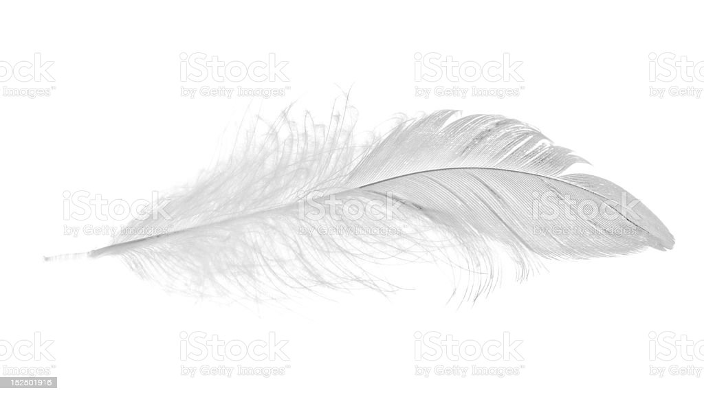 isolated white small feather stock photo