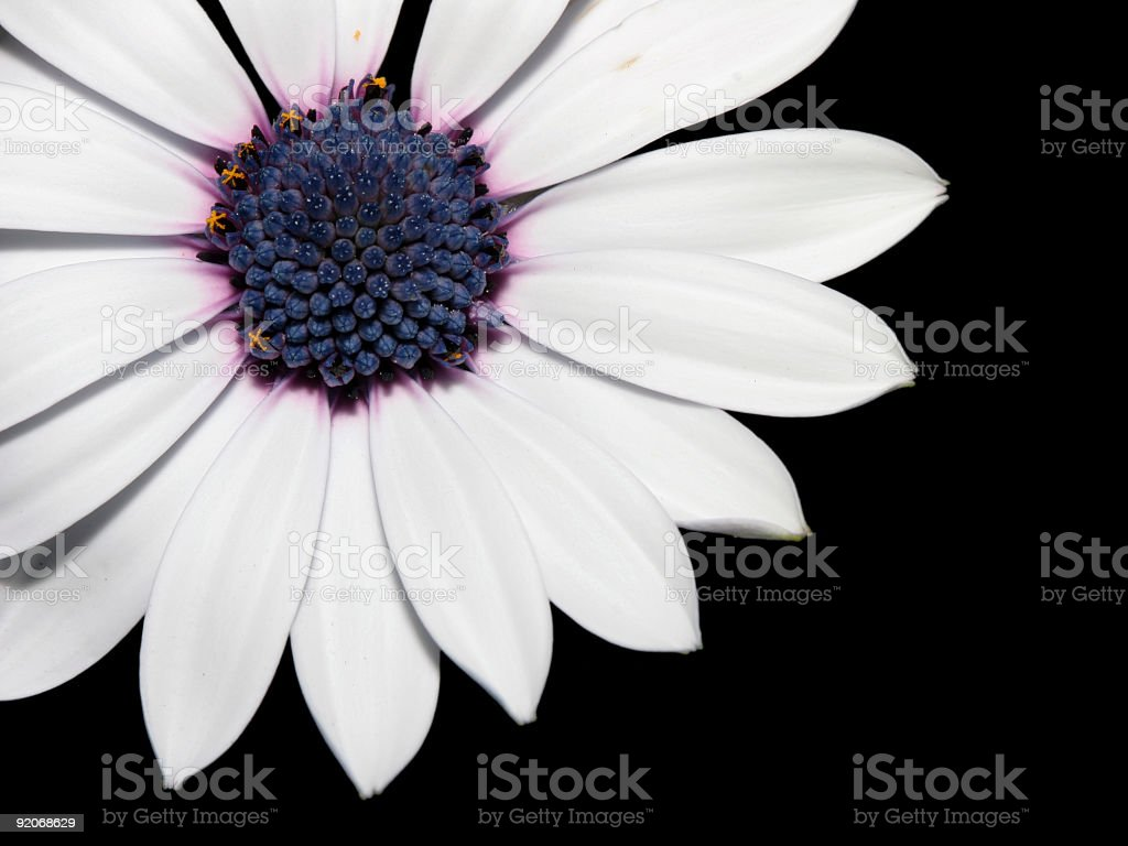 Isolated white/purple daisy detail stock photo