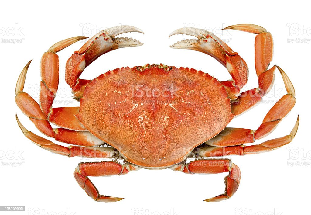 Isolated Whole Dungeness Crab stock photo